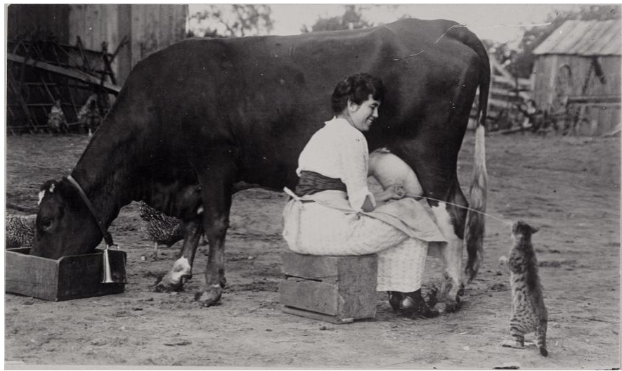 Historic photo of a woman feeding a cat as she's milking a cow.